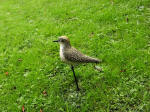 Golden Plover - DEC-GOLPL-01